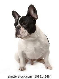 French Bulldog Dog portrait sit on white isolated background.