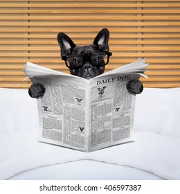 french bulldog dog reading newspaper in bedroom or in bed, reading glasses on