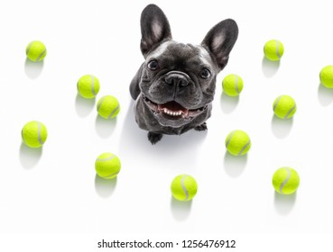 french bulldog dog ready to play and have fun with owner and tennis ball toy , isolated on white background
