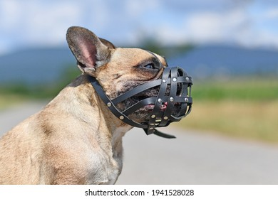 French Bulldog dog with short nose wearing leather muzzle for protection against biting