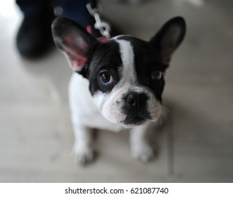 French Bulldog at dog show, Moscow.