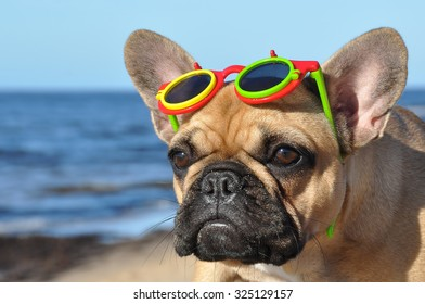 French Bulldog dog in sunglasses