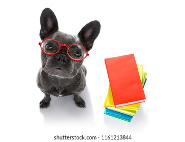 french bulldog  dog with   a tall stack of books ,very smart and clever , isolated on white background