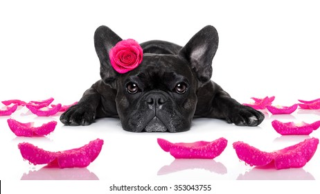 french bulldog  dog  with a valentines rose on head  isolated on white background,