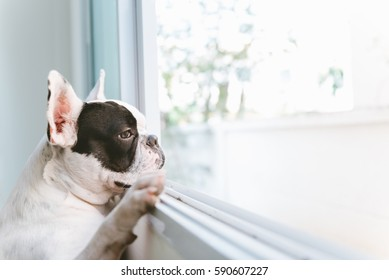 French bulldog dog waiting for owner at the window