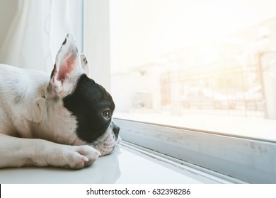 French bulldog dog waiting for owner at the door