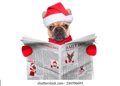 french bulldog  dressed as santa reading the christmas issue on the newspaper, isolated on white background