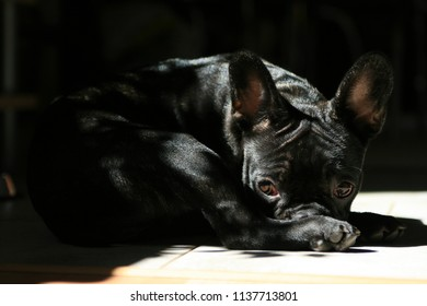 French Bulldog enjoying the sunlight but still looking at the surroundings