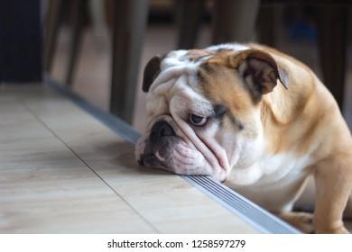 French Bulldog feeling bored, close up. Little dog with sad face.