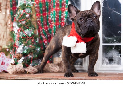french Bulldog  in front of a christmas, background looking at the camera