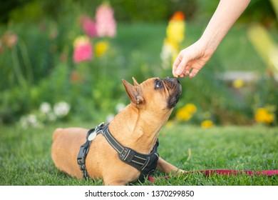 French Bulldog in Garden Getting Treat