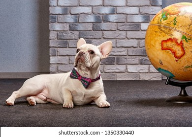 French bulldog with a globe, travel with dog, where to go with dog concept