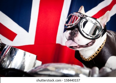 French bulldog with goggles, gold chain and leather coat on scooter in front of British flag