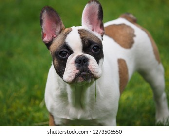 French bulldog with grass in its mouth