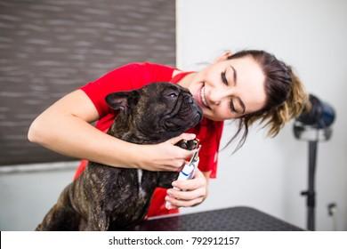 French bulldog at grooming salon.