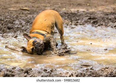 French Bulldog having fun in a mud puddle