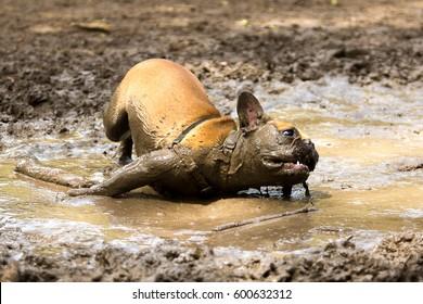French Bulldog having fun in a mud puddle