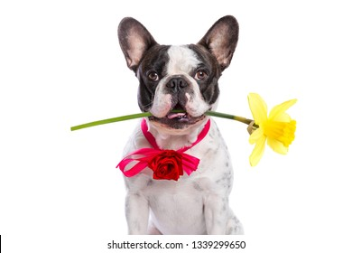 French bulldog holding yellow flower as a gift