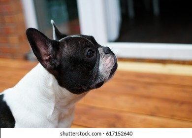 French bulldog at home for the holiday