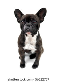 A French Bulldog isolated against a white background