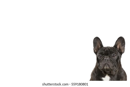 French bulldog isolated on white for copy space use. Indoor image.