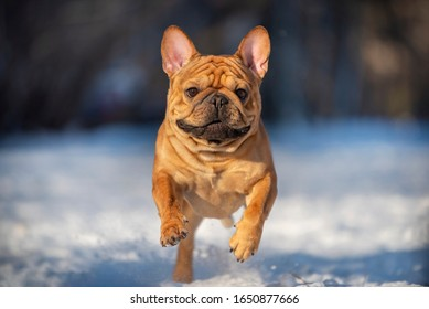 french bulldog jumping in the snow on a winter sunny day