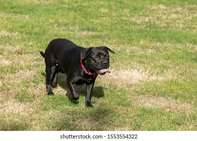 french bulldog labrador running and jumping on the lawn