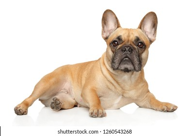 French bulldog lies and stares, on a white background. Animal themes