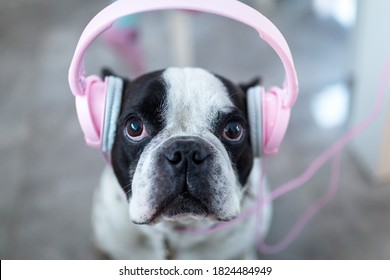 French bulldog listens to the music on pink headphones at home.