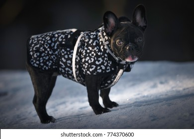 French bulldog looking bothersome at an winter promenade looking at her owner for some treats, dark but right exposured. White and black dress