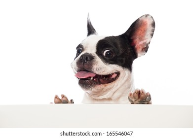 French bulldog looking over a board