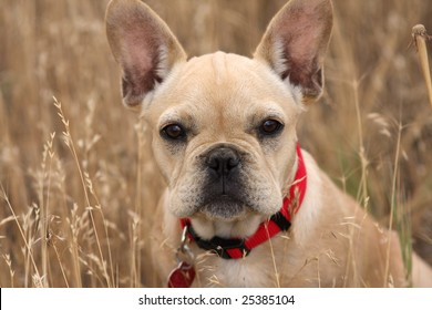 French bulldog looking pensive sitting in a field of wheat