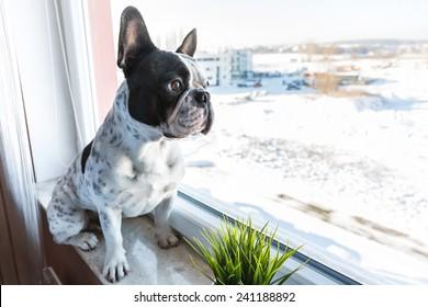 French bulldog looking through the window