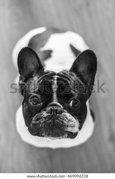 French bulldog looking up, black and white