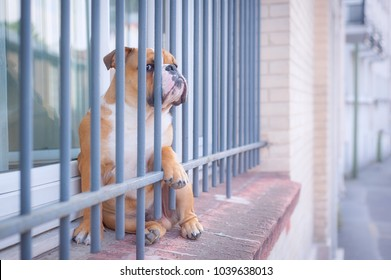 French Bulldog looks as if it wear in a jail.