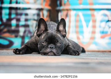 French Bulldog lying down on Graffiti