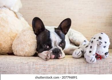 French bulldog lying with his teddy bears