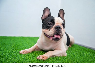 French Bulldog Lying on artificial grass