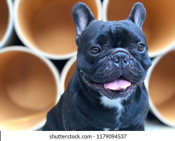 French bulldog lying on cement floor for relaxation, cute canine, paper tank or paper tube is backdrop.
