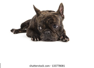 French Bulldog lying on white background