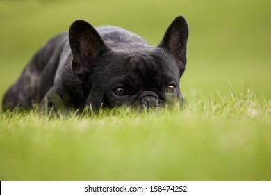 French Bulldog Male Portrait