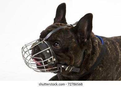 French bulldog with muzzle on white background