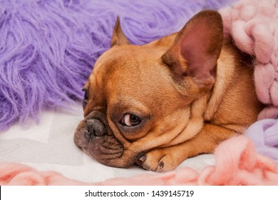 French bulldog on the bed