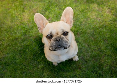 French bulldog on the grass