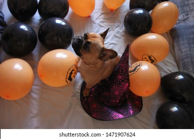 French Bulldog on Halloween party