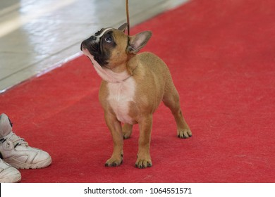 French bulldog on the red carpet at the dog show. Animals