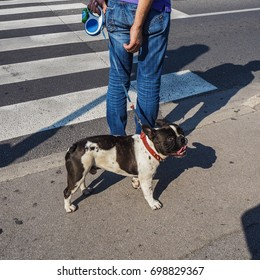 French Bulldog on the street, Ljubljana, Slovenia