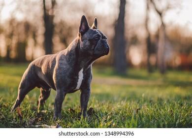 French bulldog in park