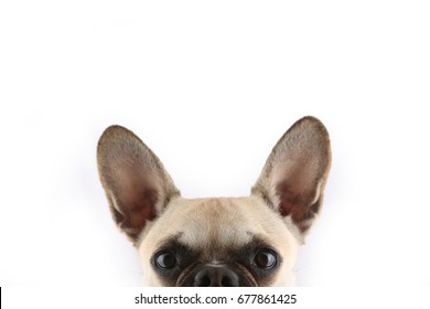 French Bulldog peek a boo