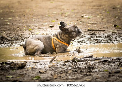 French Bulldog playing in a puddle of mud